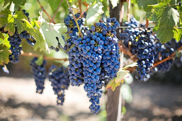purple-grapes-553464_640